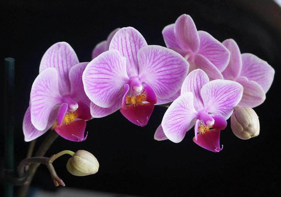 free photo orchids, flowers, pink, purple  free image on pixabay, Beautiful flower