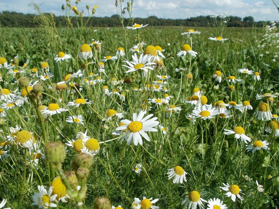 Marguerites fleurs champs photo gratuite sur pixabay - Fleurs des champs blanches ...