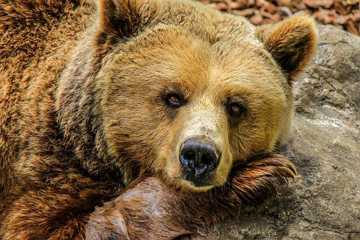 Bear, Grizzly Bear, Brown Bear, Zoo