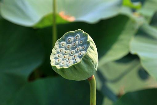 Lotus Fruit, Lotus, Seed, Plant, Flower