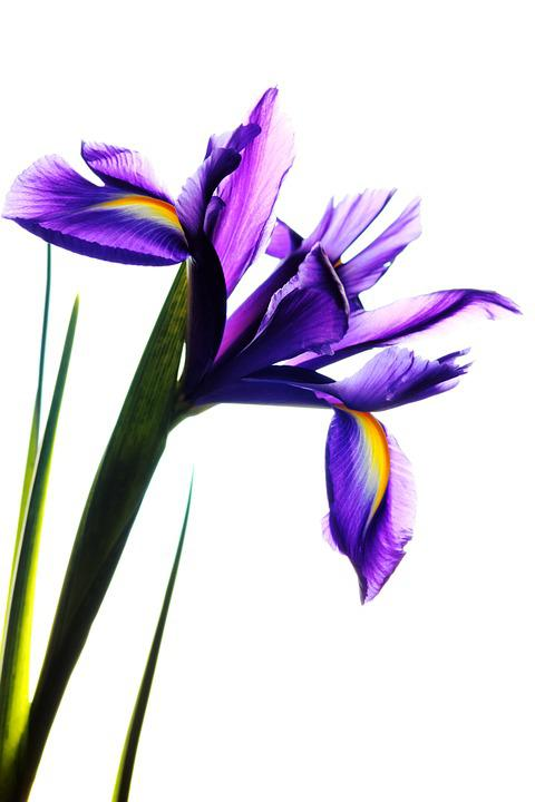 free photo iris, flower, nature, floral  free image on pixabay, Beautiful flower