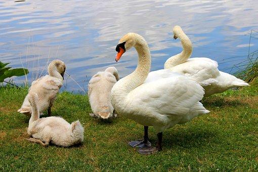 Schwäne, Vögel, Natur, Tiere, Familie