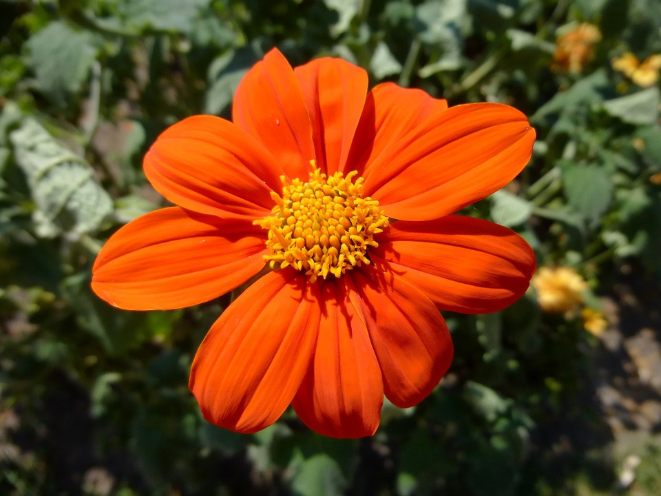 free photo orange color, flower  free image on pixabay, Beautiful flower
