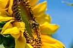 bee, yellow