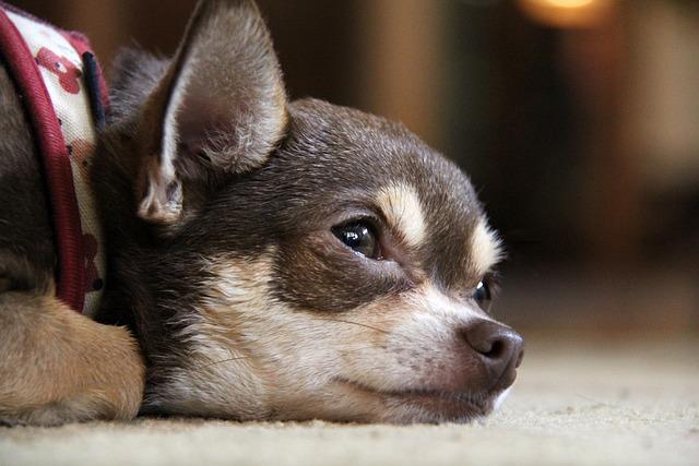 Chihuahua Dog Puppy · Free photo on Pixabay