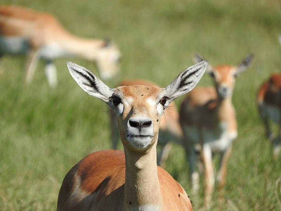 gazelle animal africain animaux sauvages troupeau