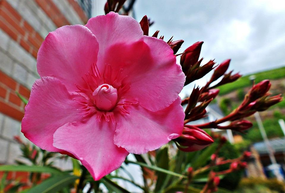 Photo gratuite fleurs de laurier rose nature image gratuite sur pixabay 840409 - Feuilles jaunes laurier rose ...