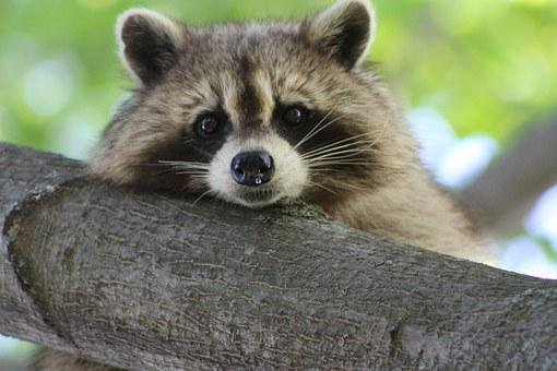 タヌキ, かわいい, 動物, 野生動物, 自然