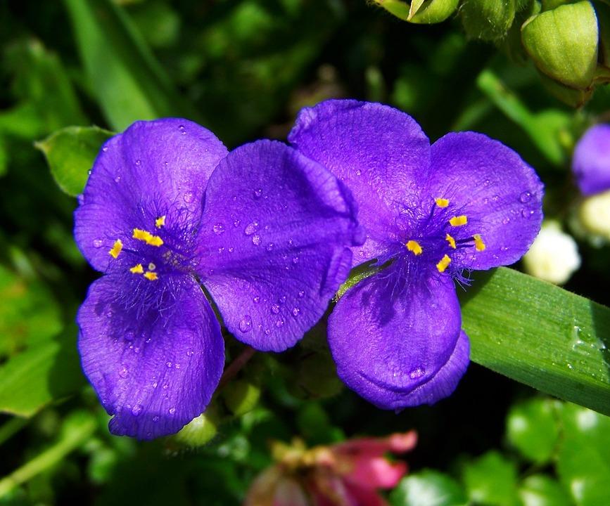 Kostenloses Foto: Blauen Gartenblumen, Sommer Blume - Kostenloses