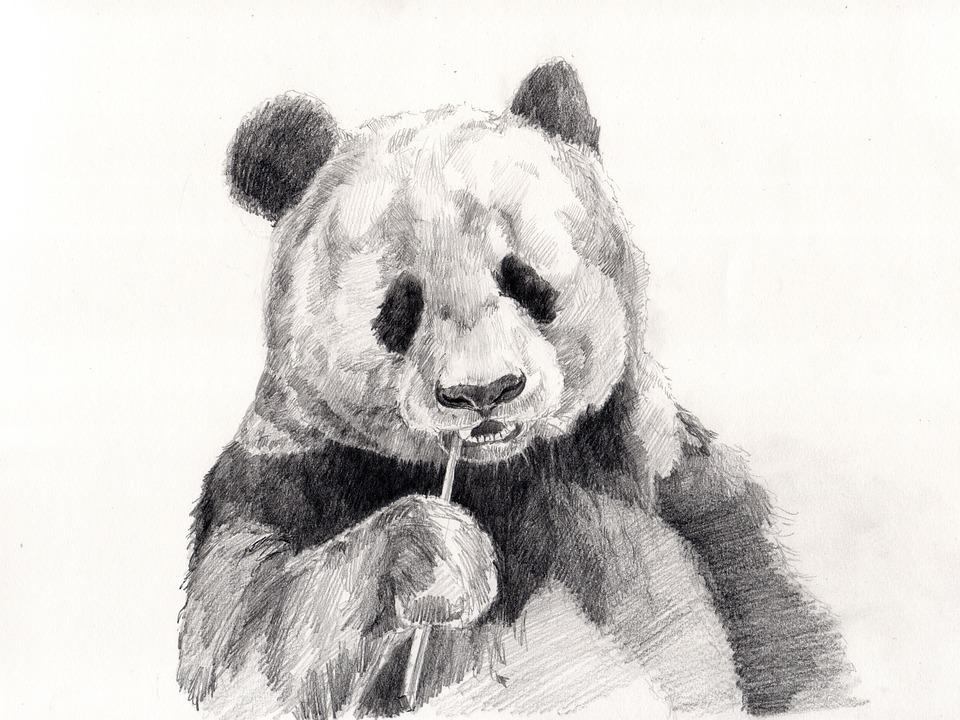 Panda, Sketsa, Gambar Pensil, Menggambar
