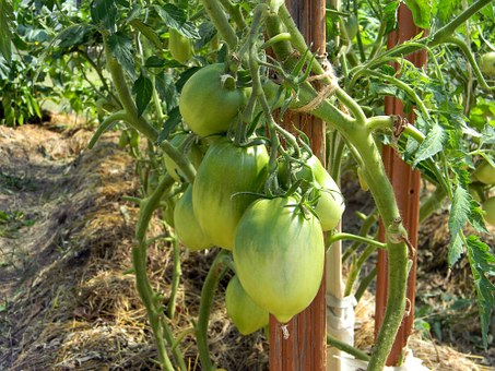 Greenhouse, Tomatoes, Nutrition, Food