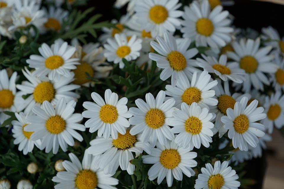 Margeriten Blumen Weiss · Kostenloses Foto auf Pixabay