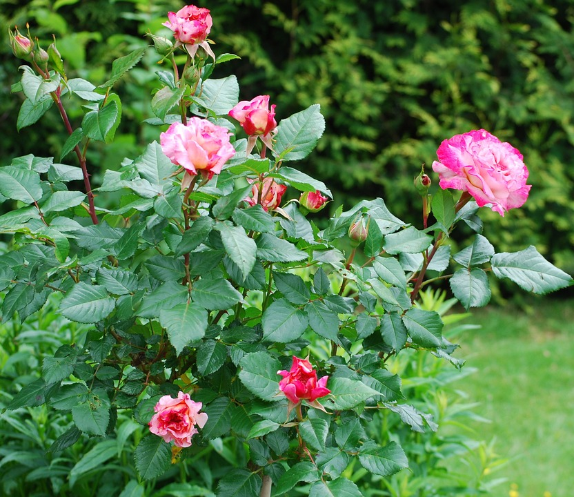 Photo Gratuite Roses Jardin Rose Famille Rosier