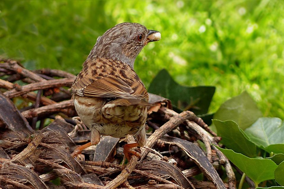 птица черноголовка
