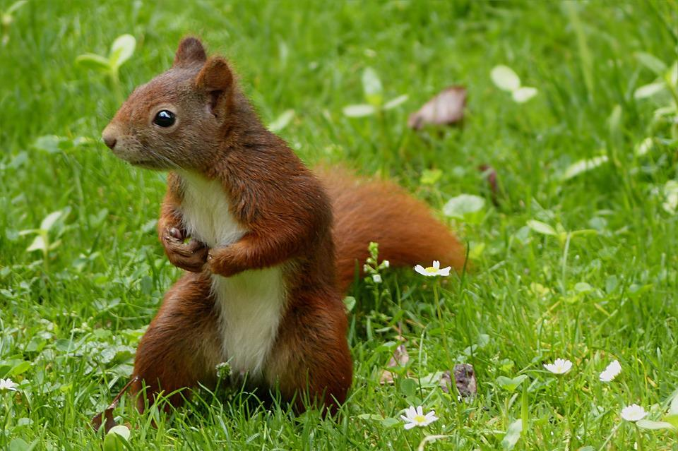free photo animal squirrel sciurus   free image on