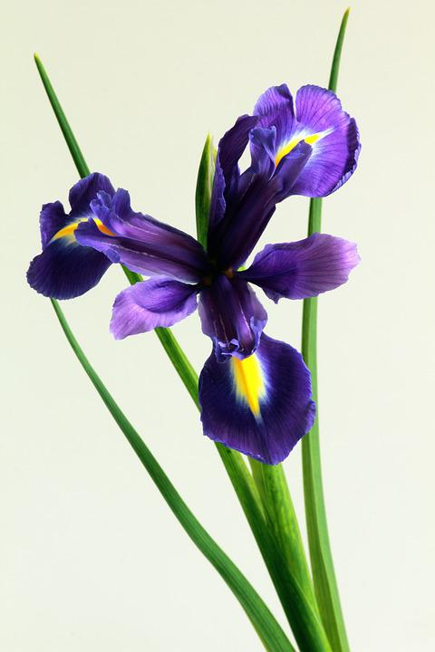 blue, iris  free images on pixabay, Beautiful flower
