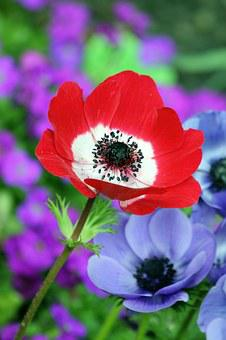 Poppy, Red, Nature, Field, Spring