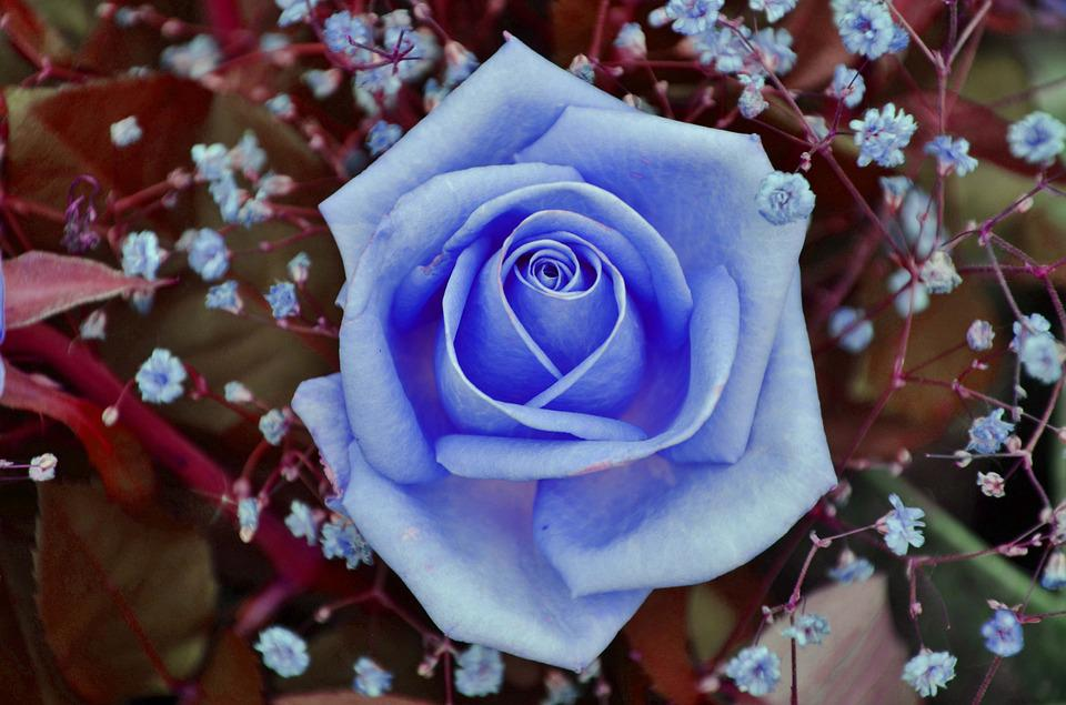 Free Photo Rose Blue Flower Floral Nature Free