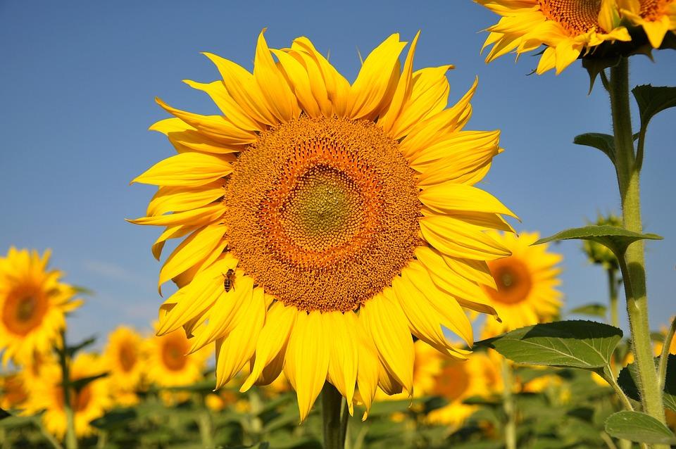 Tournesol Fleur Jaune Champ De 183 Photo Gratuite Sur Pixabay