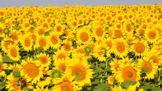Sunflower yellow flower free photo on pixabay mightylinksfo
