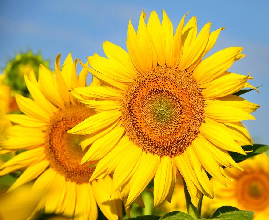 Sunflower yellow flower free photo on pixabay sunflower yellow flower sunflower field mightylinksfo