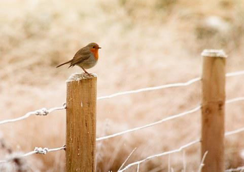 winter robin bird christmas red wildlife s - Is Red Robin Open On Christmas
