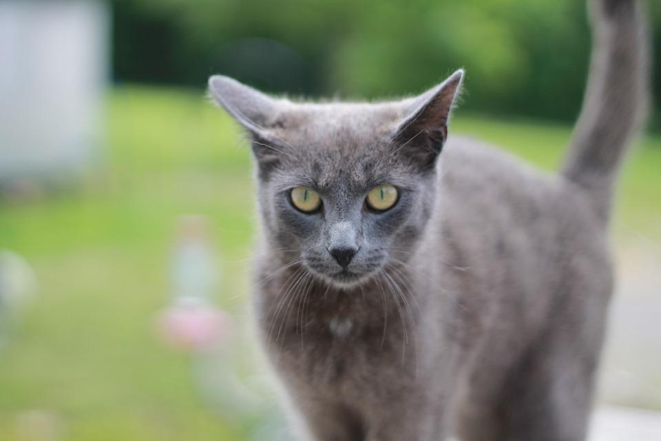 Light Grey Fluffy Cat Blue Eyes