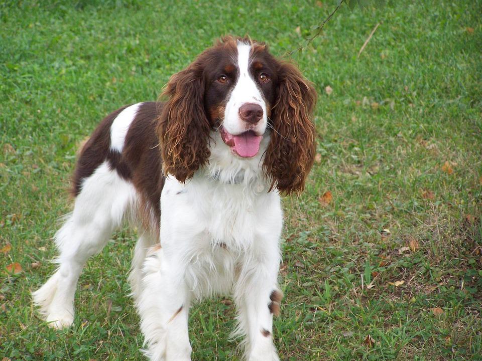 Springer, Dog, Spaniel, Canine, Pet, English