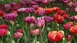 tulip, nature, spring