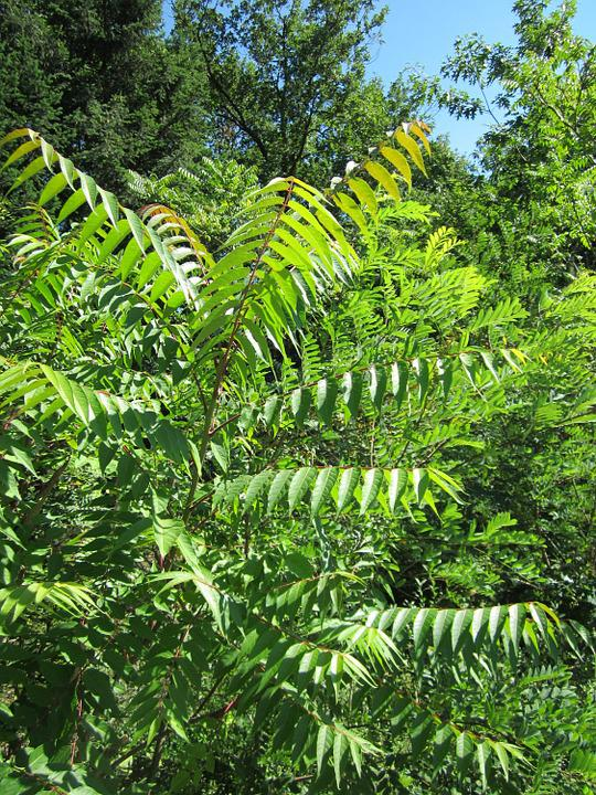 Götterbäume Altissima, Invasive, Pflanze, Botanik