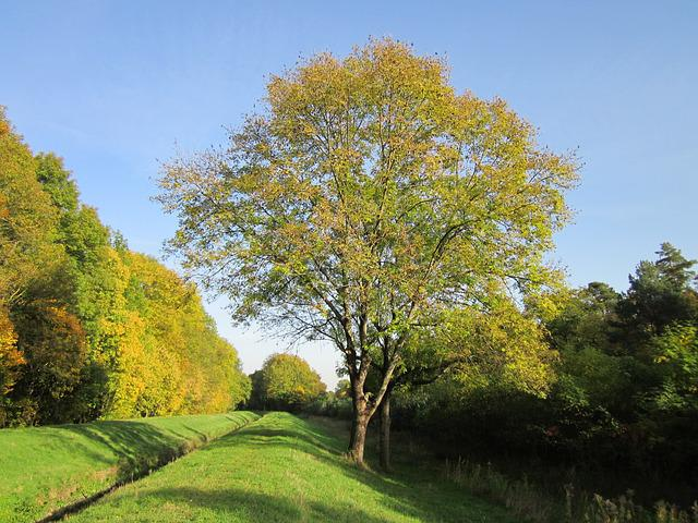 Free Photo Fraxinus Excelsior Ash Free Image On