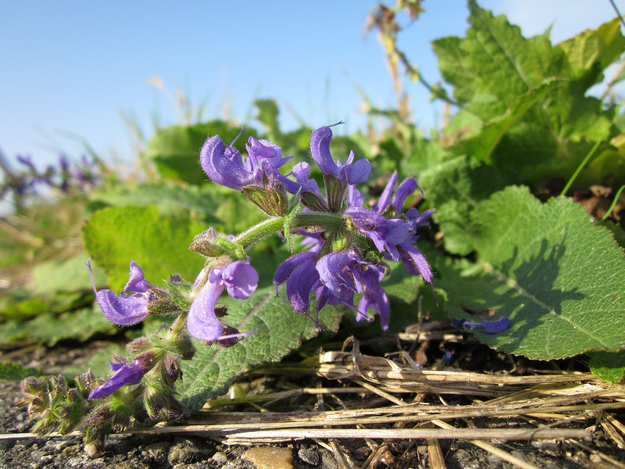 Clary Sage plant for essential oil