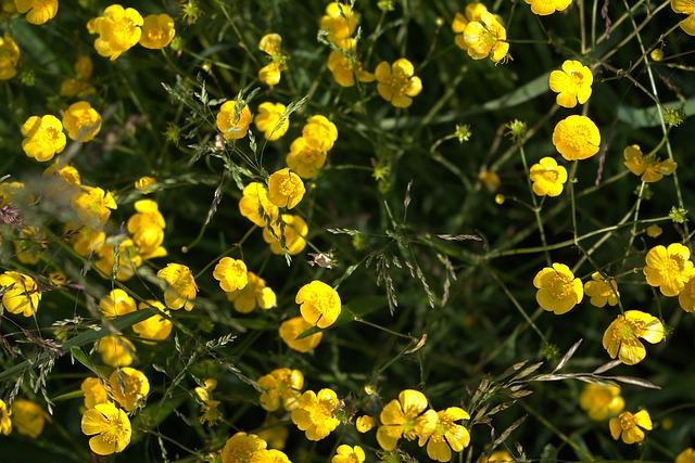 bouton d 39 or fleurs jaune photo gratuite sur pixabay. Black Bedroom Furniture Sets. Home Design Ideas