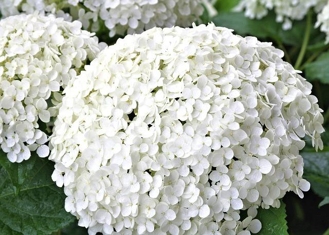 photo gratuite hortensia blanc fleur jardin image gratuite sur pixabay 845564. Black Bedroom Furniture Sets. Home Design Ideas