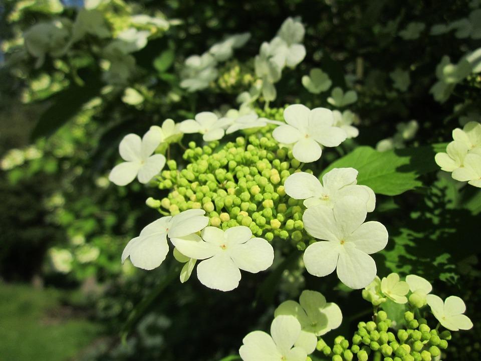 Schneeball Guelder Rose Strauch Kostenloses Foto Auf Pixabay