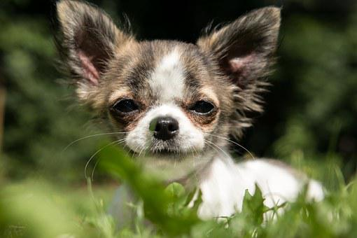 Chihuahua, Dog, Puppy, Baby, Play, Young