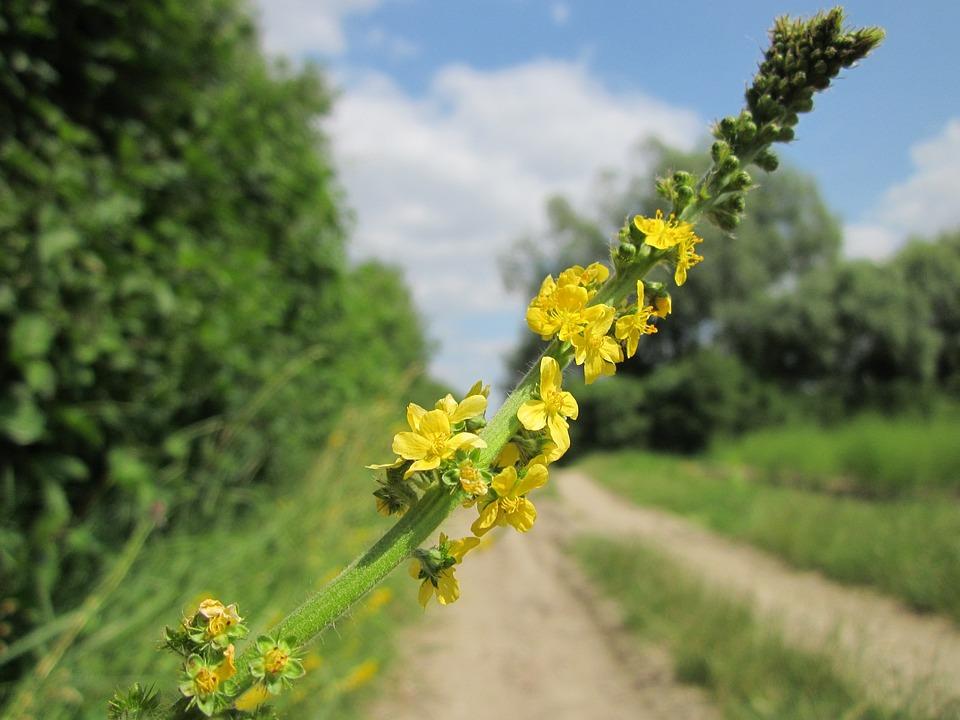 Agrimonia Eupatoria, Agrimony Comune, Campanili