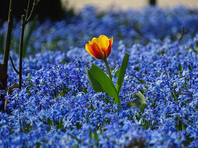 Free Photo Spring Tulip Meadow Blue Flowers Free