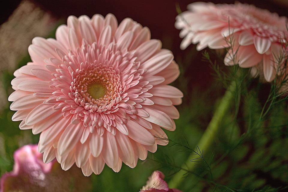 Gerbere fiori recisi foto gratis su pixabay for Fiori gerbere