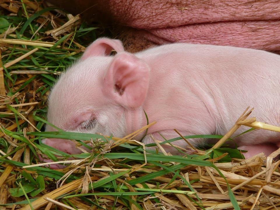 Download 50 Gambar Lucu Anak Babi Terlucu
