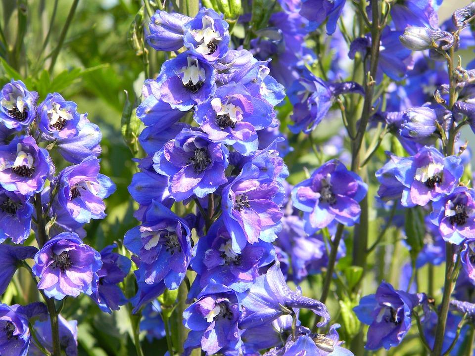 ヒエンソウ, 紫色のデルフィニウム, 庭の花, 花, 青い花, ブルー, ブルーム, ガーデニング, 自然
