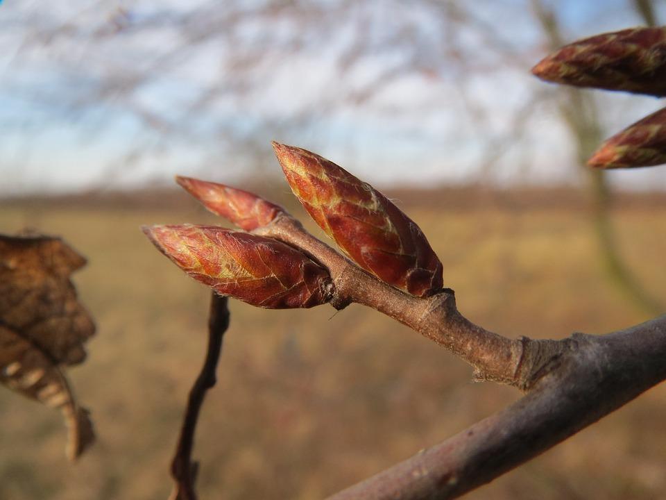 Carpinus Betulus, Carpine Europeo, Honrbeam Comune