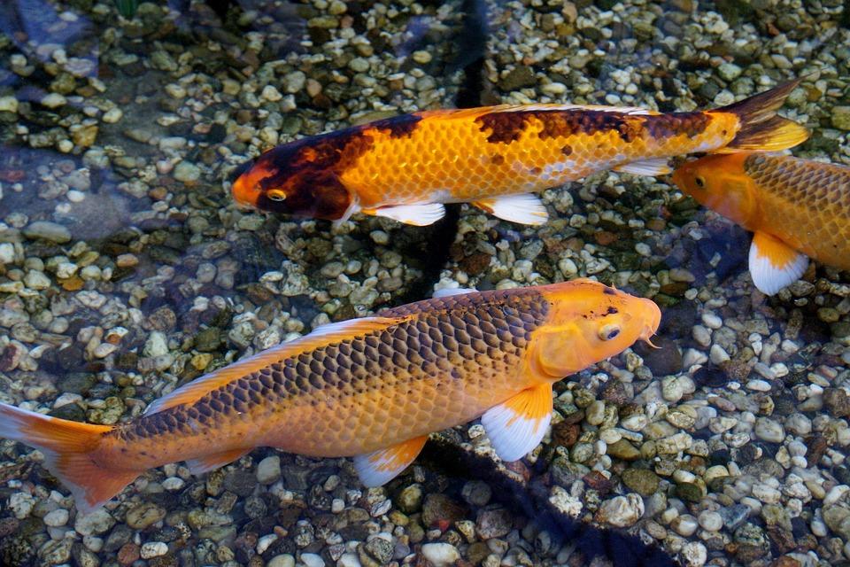 3abc72cce6a05d Fisk Koi Karper - Gratis foto på Pixabay