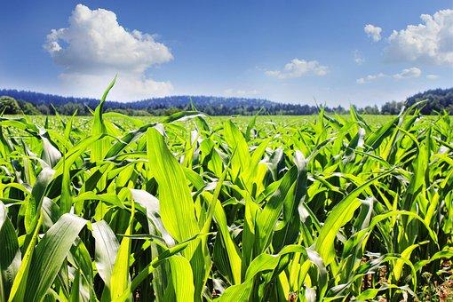 Field, Corn, Cornfield, Agriculture