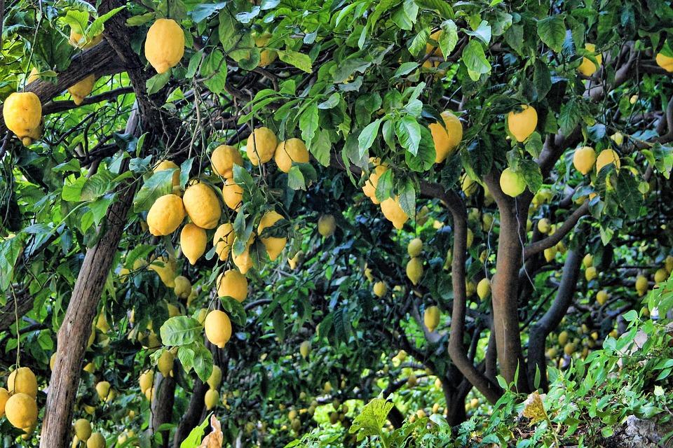Citron, Citronnier, Arbre, Fruit, Agrumes, Vert