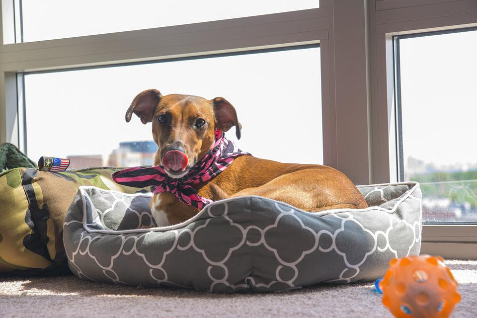 Dog, Lick, Red, Whippet, Toy, Window, Dogbed, Pet