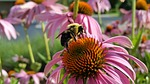 bee, coneflower, insects