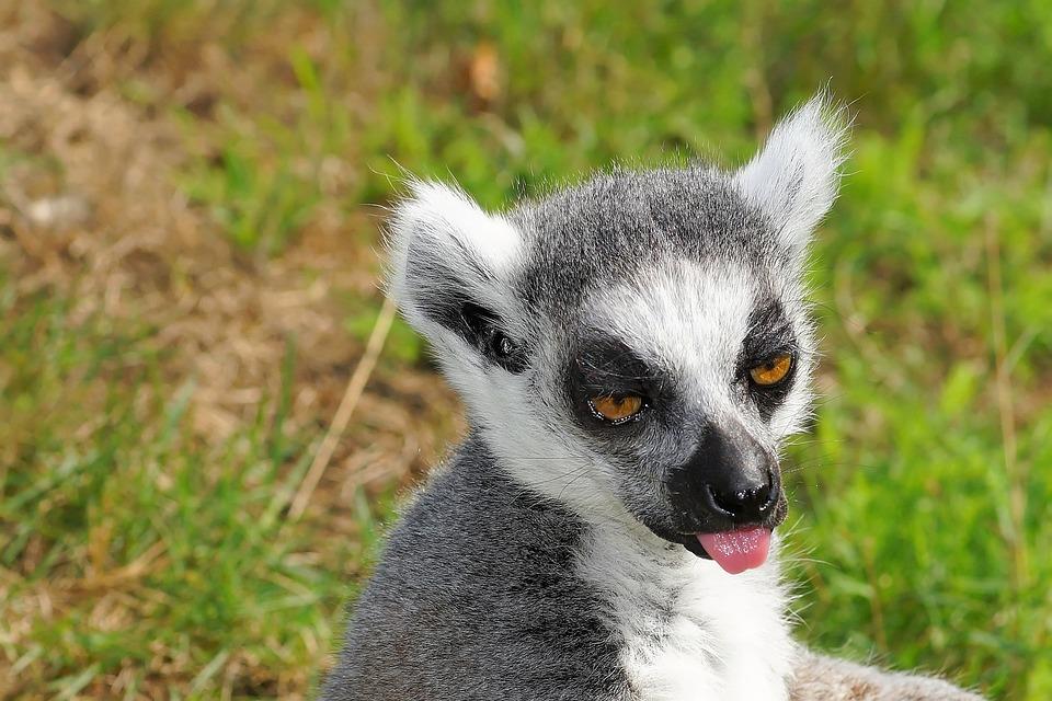 ring tailed lemur free photo on pixabay