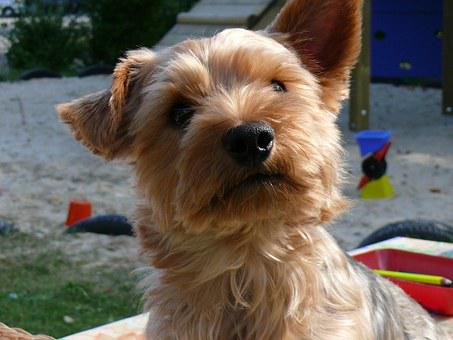 Yorkshire Terrier, Dog, Pet, Small, Fur
