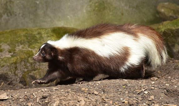 Skunk Mammal Brown White Animal Zoo Fur An